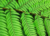 Main thumb nz tree fern
