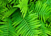 Main thumb ferns